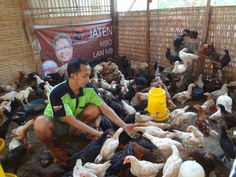 Cara Beternak Ayam Jawa Super (Joper)
