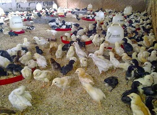 ayam joper umur 1 bulan